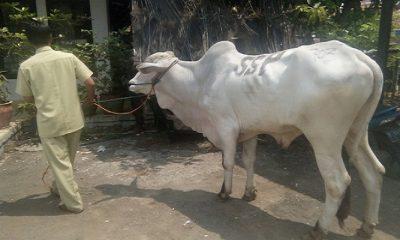 purwakarta, seekor sapi, sapi lepas, hewan qurban, idul adha 1439 h