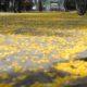 Bunga Kuning berguguran. (FOTO: ISTIMEWA)
