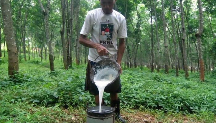Petani Karet Memanen Hasil Kebunnya (Foto Istimewa)