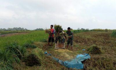 Anggota Koramil 0805/10 Sine Kodim 0805/Ngawi Serda Agus dan satu orang warga Membantu masyarakat memanen padi. (FOTO: Timbul)