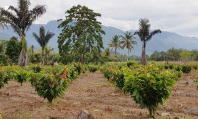 Perkebunan Kakao di Kolaka Utara, Provinsi Sulawesi Tenggara (Sultra). (FOTO: Dok. Kementan)