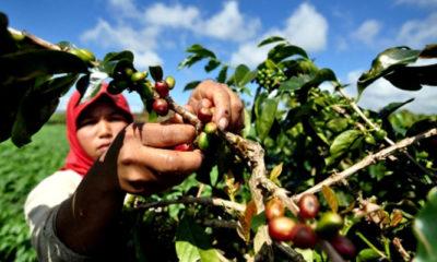 Petani Kopi Arabika Sumatera Koerintji. (FOTO: Ilustrasi)