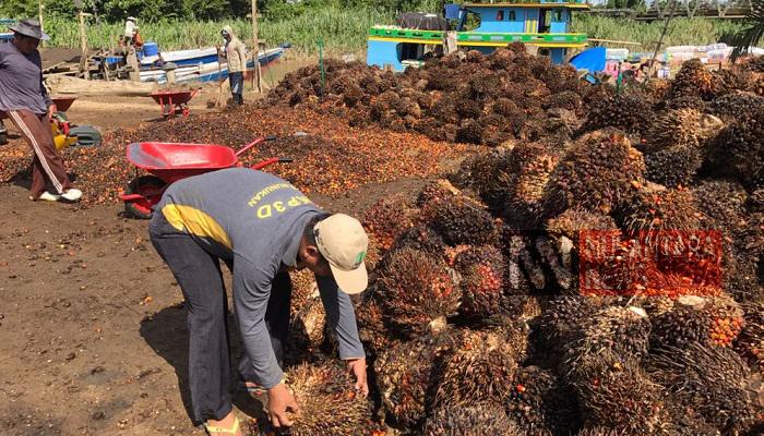 harga jual buah sawit, petani sawit, sawit nunukan, petani sawit nunukan, nasib petani sawit, panen sawit, ongkos panen sawit, kelapa sawit, ekspor sawit