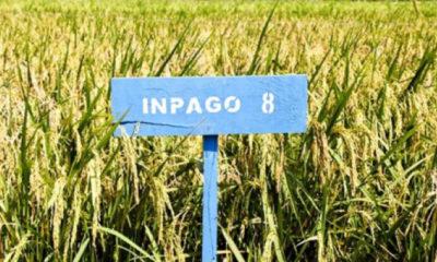 Varietas Padi Gogo Inpago 8. (FOTO: Istimewa)