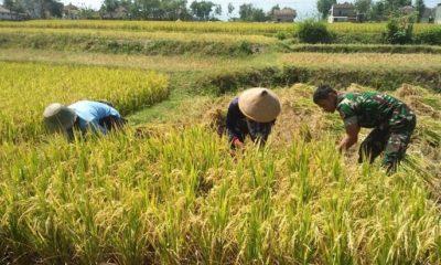 Babinsa Lembah Sigap Bantu Petani Panen Padi Secara Manual. (FOTO: NUSANTARANEWS.CO/Pendim Madium)
