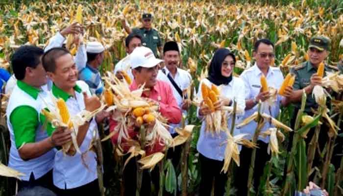 Mentan Amran Sulaiman ikut Panen Jagung di Probolinggu, Jawa Timur. (FOTO: Istimewa)