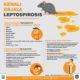 Infografis Gejala Leptospirosis. (Infografis dok. Humas Pemprov Kaltara)