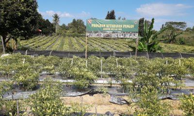 Lahan tidur yang dikelola Kodim 0911/Nunukan menjadi area ladang Cabai di Nunukan, Kalimantan Utara. (Foto: Eddy Santri/NUSANTARANEWS.CO)