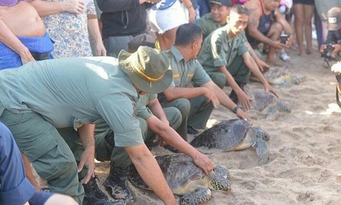 Balai Konservasi Sumber Daya Alam Bali bersama sejumlah instansi terkait melepasliarkan 18 ekor penyu hijau (Chelonia mydas) hasil sitaan dari pemburu tak bertanggungjawab di Pantai Kuta, Badung, Bali. (FOTO: Istimewa/@KementerianLHK)