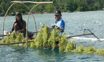 pembudidaya rumput laut, dkp kaltara, rumput laut, nusantaranews