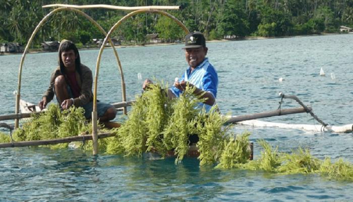 Dkp Rutin Awasi Pembudidaya Rumput Laut