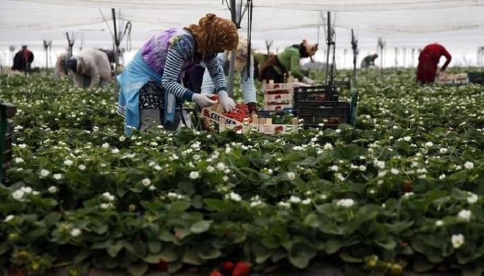 Para Wanita bekerja di kebun Strawberry. (FOTO: Istimewa)