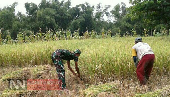 Babinsa Supriyono Merasa Selalu Semangat Bantu Para Petani di Desanya. (Foto Untuk Nusantaranews.co)
