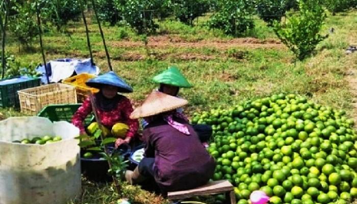 Budidaya Jeruk Lemon Indonesia Terasa Manis dan Segar. (FOTO: Istimewa)