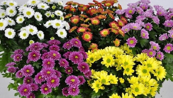 Bunga Krisan. (Ilustrasi)