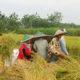 Demi Wujudukan Ketahanan Pangan Babinsa Lakukan Pendampingan Kepada Petani. (Foto Istimewa Untuk NUSANTARANEWS.CO)