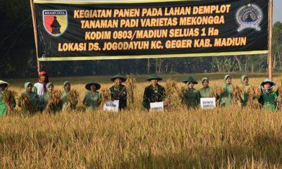 Musim panen raya padi di Madiun. (FOTO: NUSANTARANEWS.CO)
