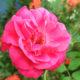 Bunga mawar. (Foto: Ilustrasi/Eriec Dieda/NUSANTARANEWS.CO)