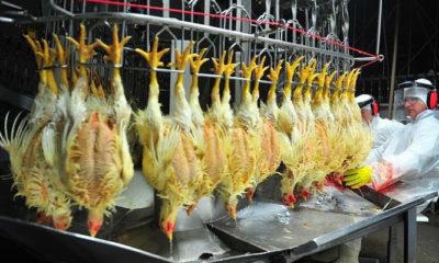 Ilustrasi Penyembelihan Ayam di Luar Negeri. (Foto Dok The Brazilian Report)