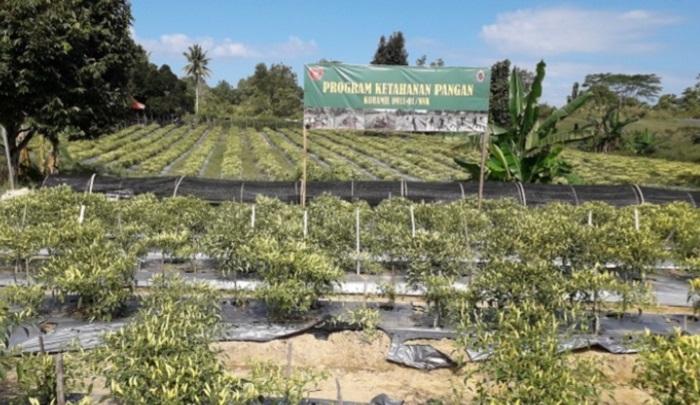 Hamparan cabai unggulan siap panen hasil olahan Kodim 0911/Nunukan diatas lahan yang tadinya berupa lahan tidur. (FOTO: NUSANTARANEWS.CO/ES)