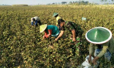 Sertu Suwarni Babinsa Bulu membantu panen kacang hijau dilahan milik Maeran anggota Kelompok Tani (Poktan) Sri Rezeki Desa Bulu