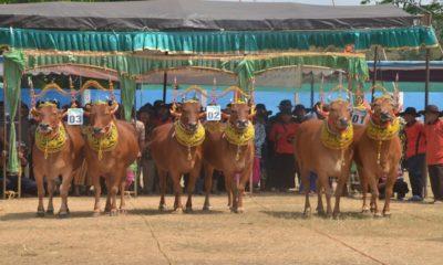 pemkab sumenep, kontes sapi sonok, lestarikan budaya, harga seekor sapi, nusantara news