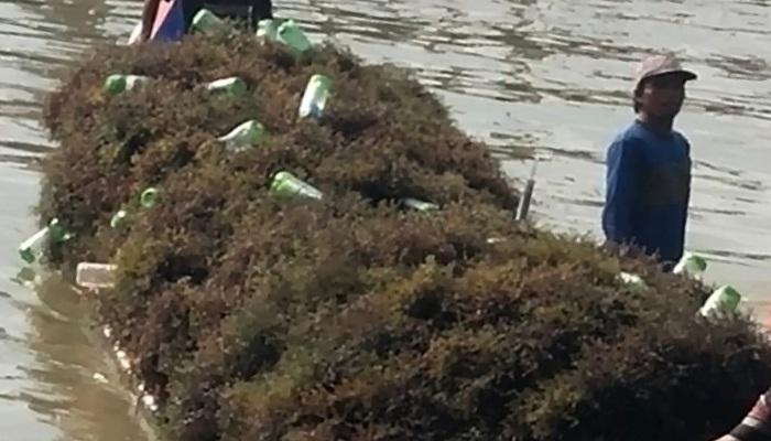Kapal pengangkut Rumput Laut milik para pembudidaya tanaman gulma tersebut di Nunukan. (Foto: Eddy S/NUSANTARANEWS.CO)