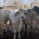 swasembada daging nasional, japfa, kembangbiakan sapi, f1 nelore, nusantaranews