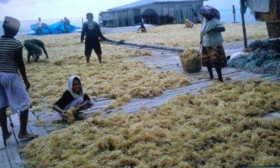 Para pembudidaya rumput Laut di Nunukan sedang menjemur hasil panen mereka. (FOTO: NUSANTARANEWS.CO/Eddy Santry)