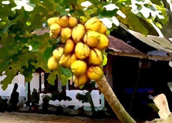 Pohon Pepaya dengan buah kelapa