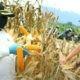 Bupati dan Wakil Bupati melakukan panen jagung