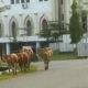 Masyarakat mengharapkan penertiban ternak mulai dari areal kantor bupati.