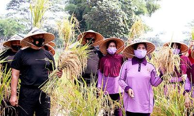 Kodiklat TNI panen padi dalam polybag di lahan ketahanan pangan Kodiklat TNI Serpong, Tangerang Selatan, Selasa (17/11).