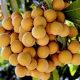 Menyantap buah kelengkeng baik untuk relaksasi syaraf.