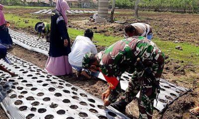 Babinsa bersama masyarakat melaksanakan penanaman bawang merah.