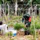 Babinsa Desa Cot Lamme bantu petani menjaga swasembada pangan.