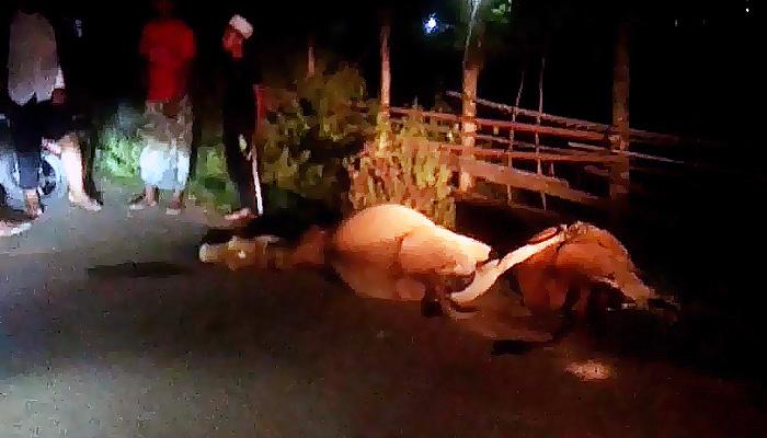 Tabrakan maut, dua ekor lembu mati di tempat.