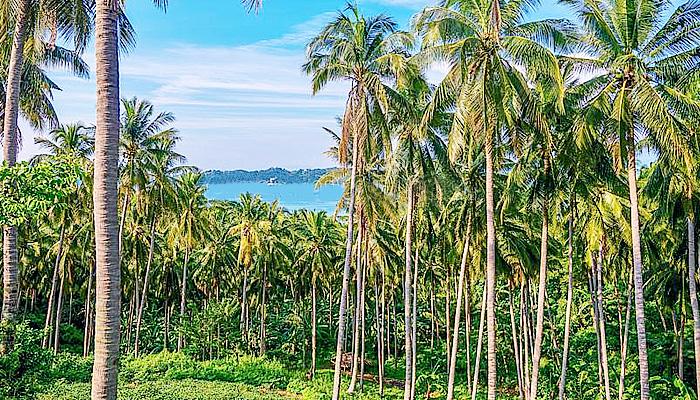 Pohon kelapa sumber pendapatan keluarga
